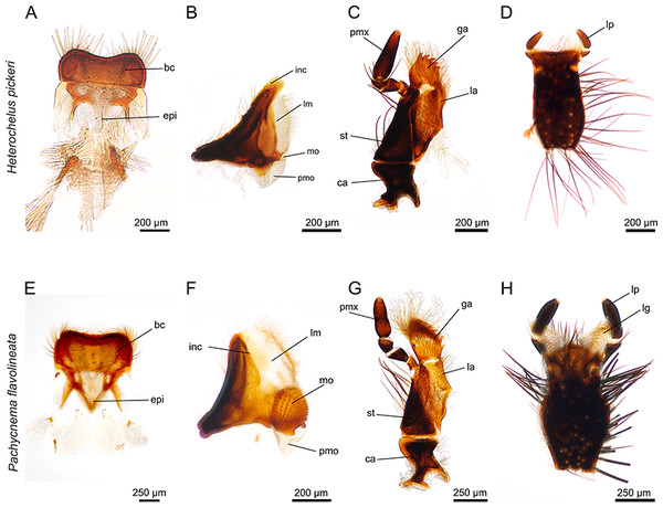 Mouthparts of Heterochelus pickeri (A–D) and Pachycnema flavolineata (E–H).