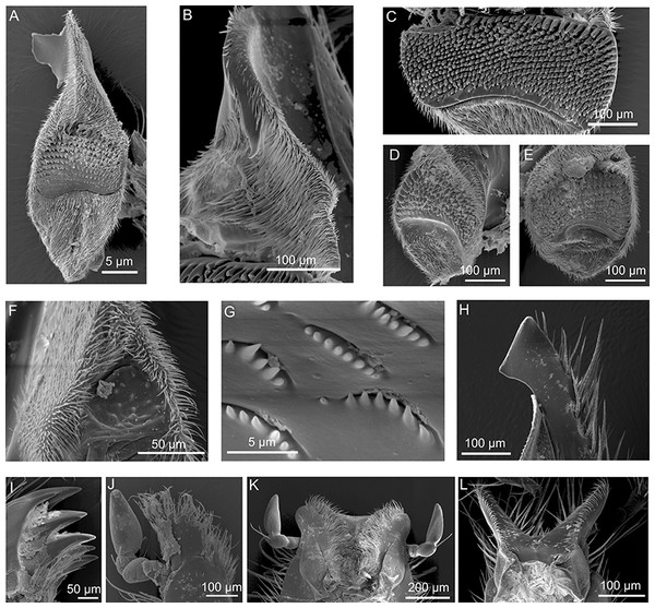 SEM micrographs of the mouthpart of various hopliine species.