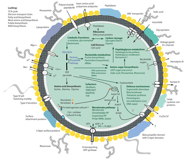 Overview of the protein investments in biosynthesis in Ca. P. riflensis.