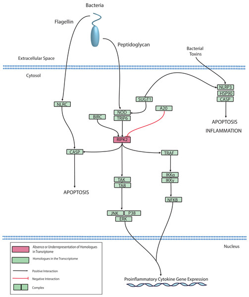 Modified O. faveolata NLR signaling pathway from KEGG.
