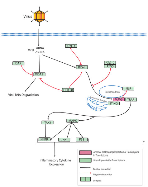 Modified O. faveolata RLR pathway from KEGG.