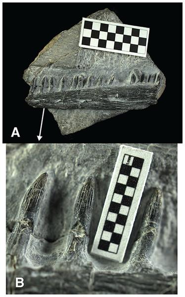 Specimen USNM 559349, partial ichthyopterygian jaw cf. Utatsusaurus.