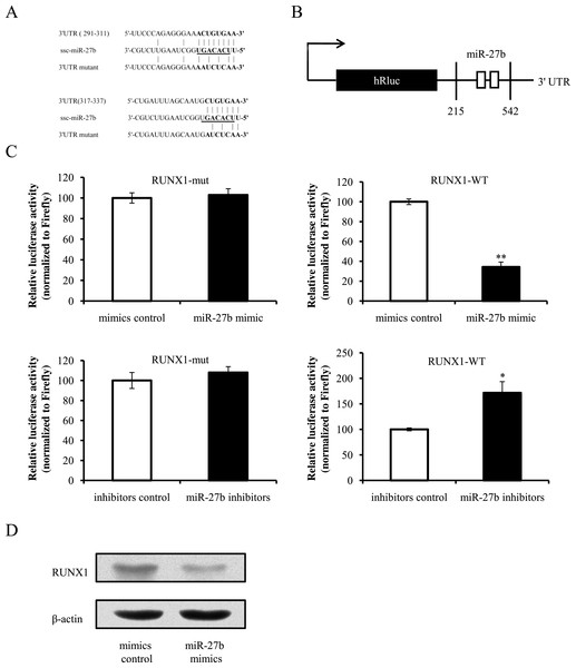 miR-27b directly targets the 3′ UTR of RUNX1 mRNA.