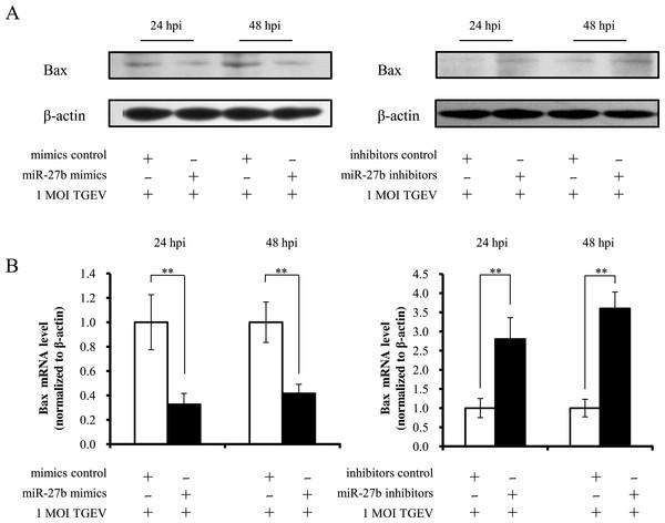 miR-27b attenuates apoptosis via mitochondrial pathway.