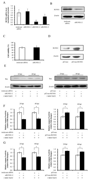 RUNX1 enhances TGEV-induced apoptosis.