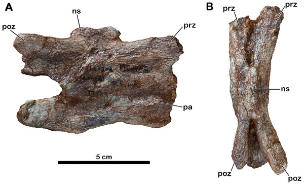 Anterior cervical vertebra of Meroktenos, MNHN.F.LES351a.