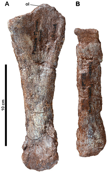 Forelimb bones of Meroktenos.