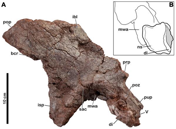 Right ilium of Meroktenos, MNHN.F.LES16a.
