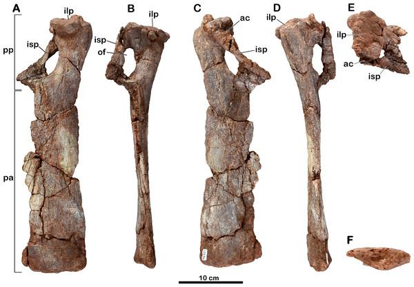 Left pubis of Meroktenos, MNHN.F.LES16b.