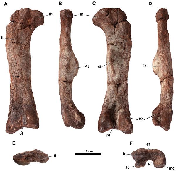 Right femur of Meroktenos, MNHN.F.LES16c.