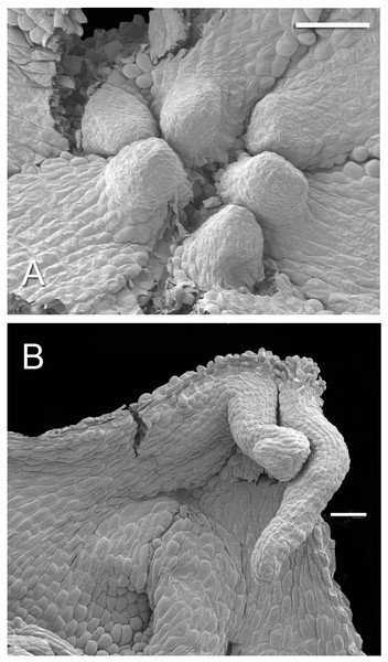 Developing tepal appendages in dissected flower buds of Lacandonia brasiliana (SEM).