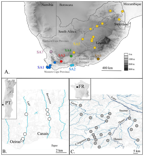 Map of the native (A. South Africa) and invaded X. laevis localities (B. Portugal, C. France) surveyed in this study.