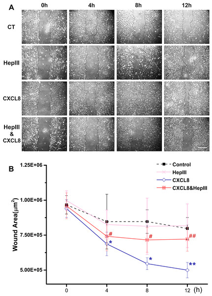 Heparinase III attenuated the CXCL8-induced wound healing.