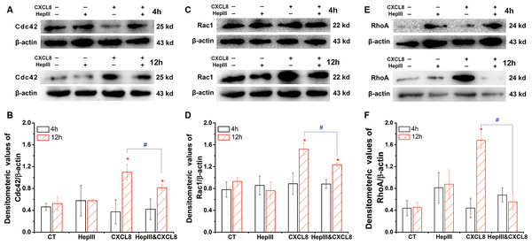 Effect of heparinase III on the CXCL8-modulated expression of Rho GTPases.