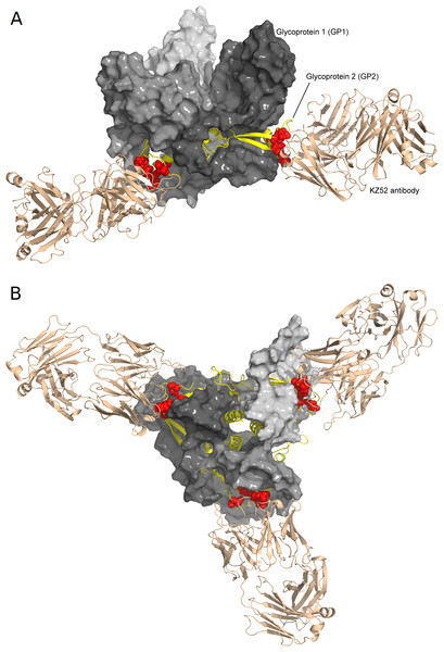 Structure of Ebola glycoprotein trimer in complex with the KZ52 antibody as viewed from the side (A) and the bottom (B).