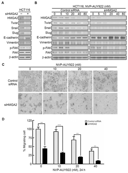 Knockdown HMGA2 expression can enhance the effect of NVP-AUY922-mediated suppression of EMT and migratory ability of HCT116 cells.