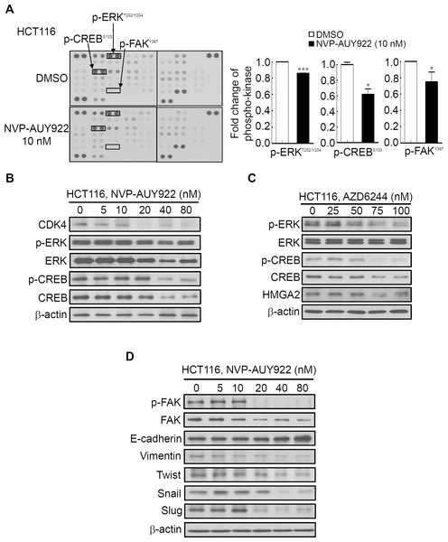 Human phospho-kinase array analysis in response to NVP-AUY922 treatment in HCT116 cells.