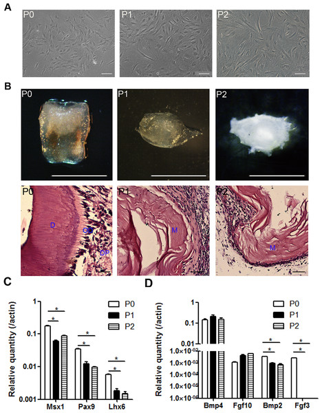 The odontogenic potential is impaired in the cultured mDMCs.