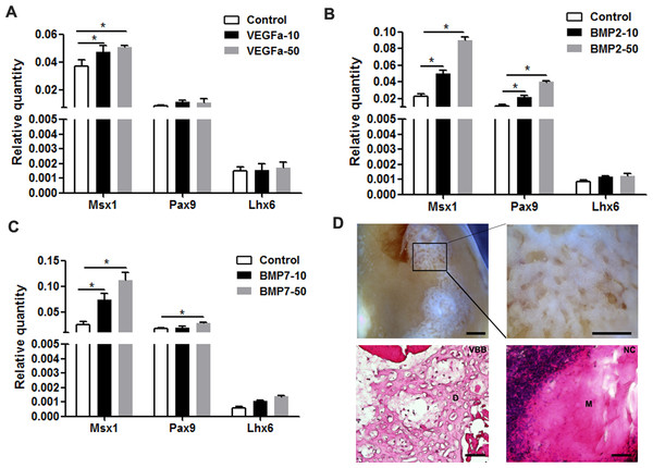VEGFα, BMP2, and BMP7 play roles in the maintenance of odontogenic potential.