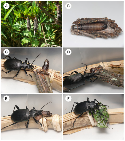 Photos of the bagworm Eumeta minuscula and its potential predator Calosoma maximoviczi.