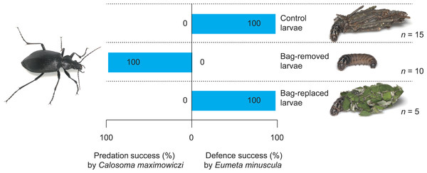 Predation success of the carabid Calosoma maximoviczi and defensive success of the bagworm Eumeta minuscula for different bag treatments (control, bag-removal, and bag-replacement).