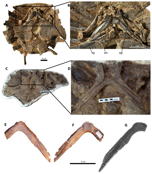 Purported furculae for the holotype and referred specimens of Dakotaraptor steini compared with the entoplastron of the trionychid turtle Axestemys splendida; anterior is up.