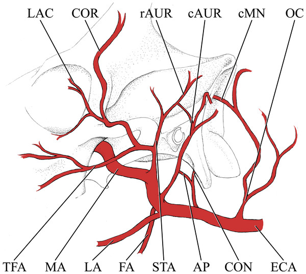 Simplified illustration of the major branches of the external carotid artery of the giraffe.