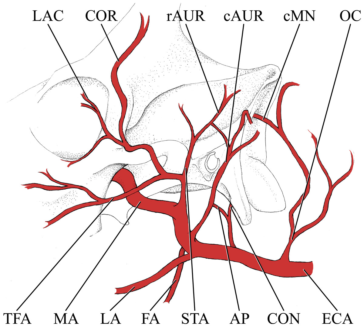a parison of postnatal arterial patterns in a growth series of Bull Horns Hand Sign simplified illustration of the major branches of the external carotid artery of the giraffe