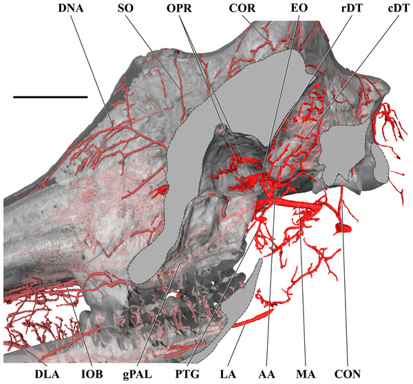 Orbital arteries and branches of the maxillary artery of the adult giraffe.