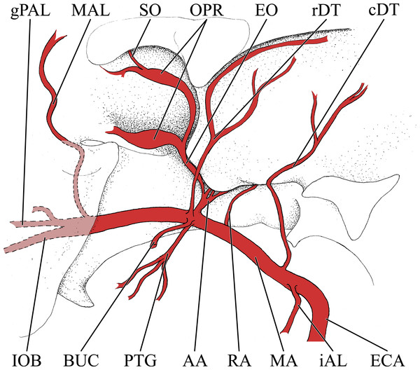 Simplified illustration of the major branches of the maxillary artery of the giraffe.