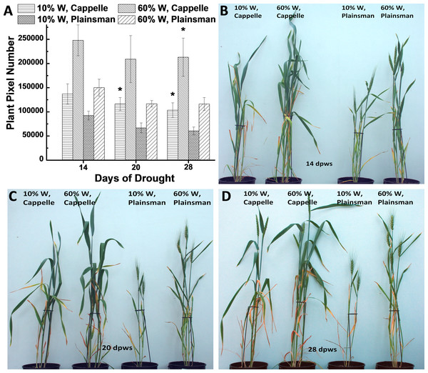 The effect of drought stress on the accumulation of green biomass.