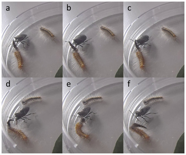 Screen captures from a video of an attack by the pentatomid bug on a Uraba lugens caterpillar, showing how the caterpillar uses its head capsule stack to defend itself; head capsule stack (A–C) serving as a false target or decoy, (D–F) being used to deflect the bug's rostrum.