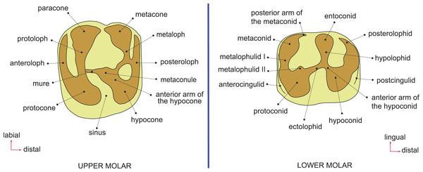 Dental terminology, based on Wood & Wilson (1936) and Marivaux et al. (2014).