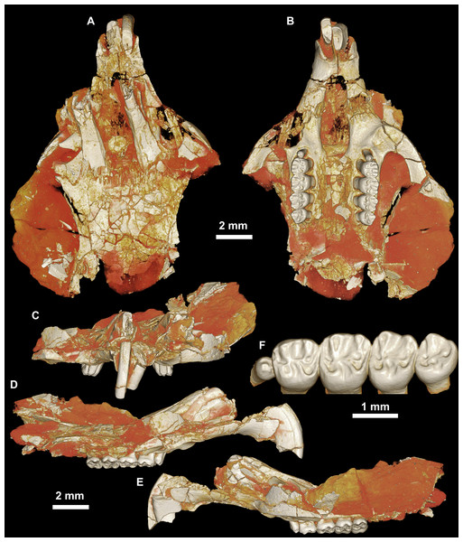 CGM 66000, holotype cranium of Birkamys korai, new genus and species, from the latest Eocene Locality L-41, Jebel Qatrani Formation, Fayum Depression, northern Egypt.