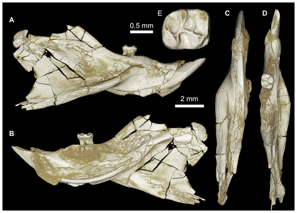 Mandible of cf. Birkamys from Quarry L-41.