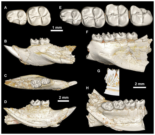 Lower dentition of Mubhammys vadumensis, new genus and species.
