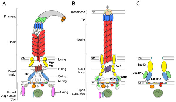 The flagellar, T3SS, and sporulation complexes.
