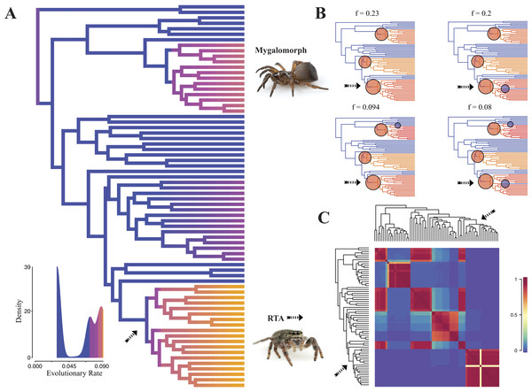 Time-calibrated phylogeny of spiders with branches colored by reconstructed net diversification rates (A).
