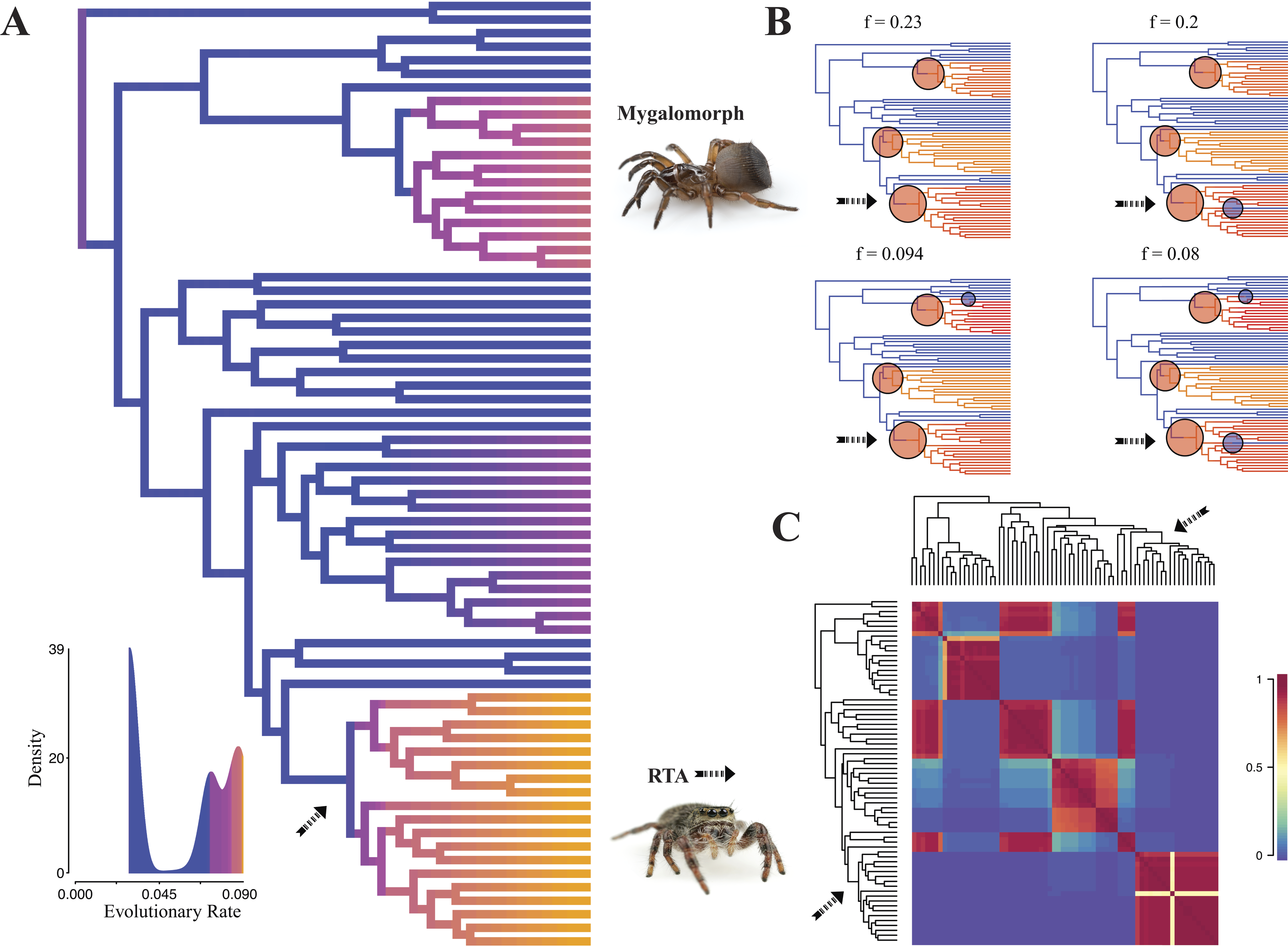 spider phylogenomics untangling the spider tree of life peerj