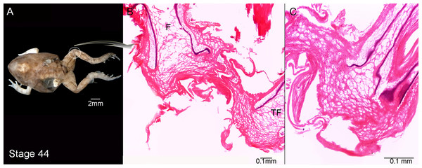External morphology (A) and knee-joint histological section (B, C) of Pleurodema borellii tadpoles. Experiment C.
