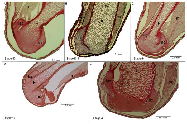 Histological section of the femur epiphyses of Pleurodema borellii tadpoles. Experiment D.