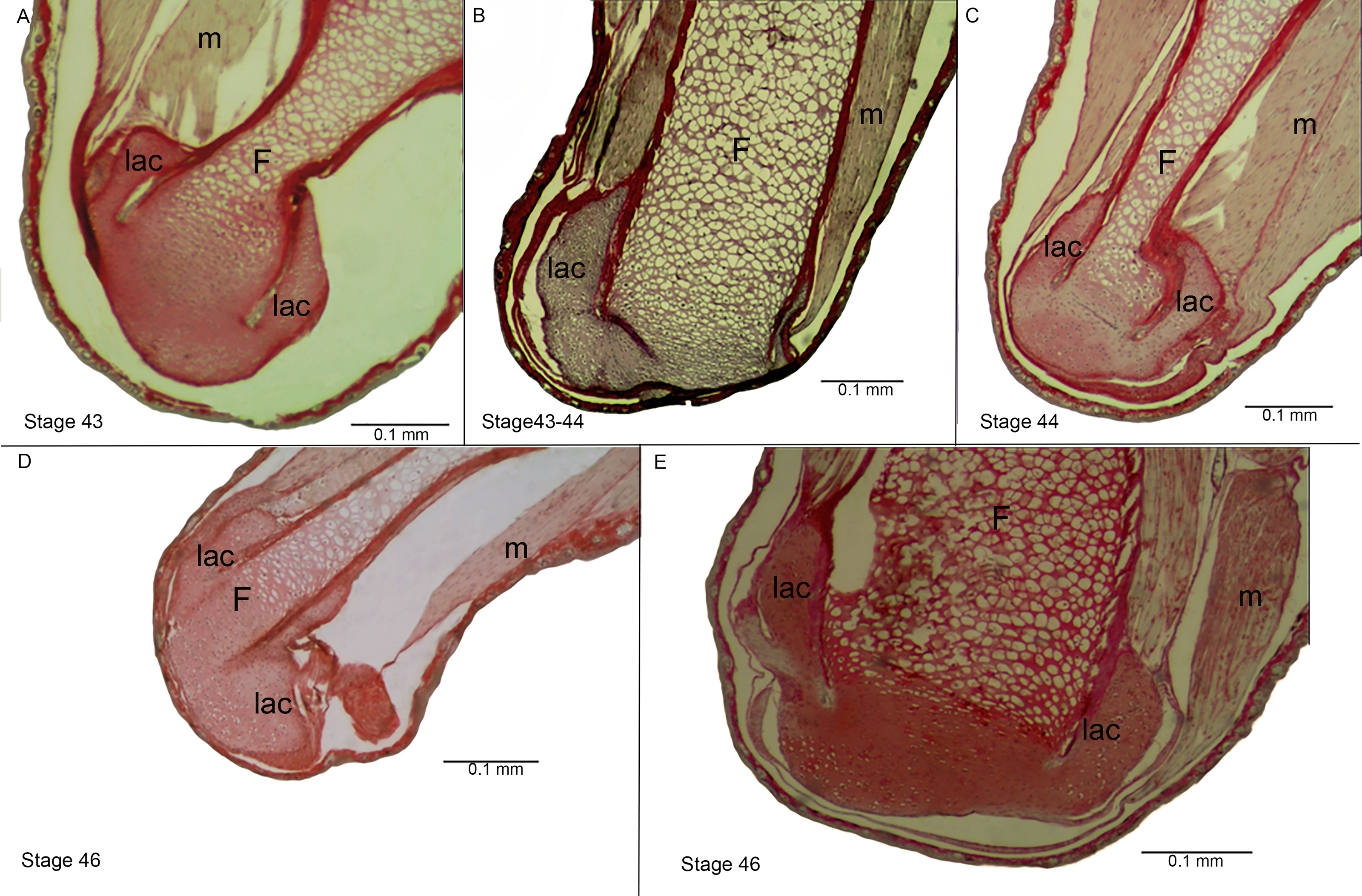 Phenotypical expression of reduced mobility during limb ontogeny in ...