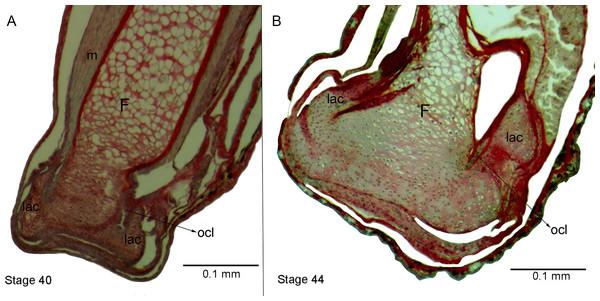 Histological section of femur epiphyses of Pleurodema borellii tadpoles. Experiment E