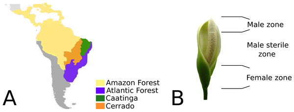 (A) Geographic distribution of Philodendron species along the Neotropical biomes of Amazon, Atlantic forest, Cerrado and Caatinga. (B) Philodendron inflorescence and the flower zones.