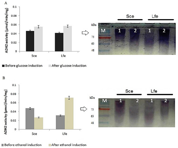 Glucose and ethanol induction on ADH2 from S. cerevisiae and L. fermentati.