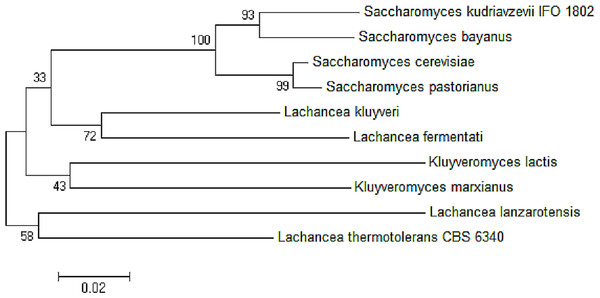 Neighbor-joining phylogenetic analysis separating the sequences of ADH2 from L. fermentati in Lachancea ADH2 family and Saccharomyces/Kluyveromyces ADH2 family groups.