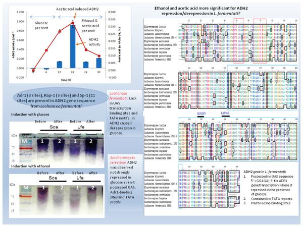 Schematic diagram describing the role of ADH2 gene from Lachancea fermentati strain SHM1 in the regulation of glucose, ethanol and organic acid in bioethanol fermentation.