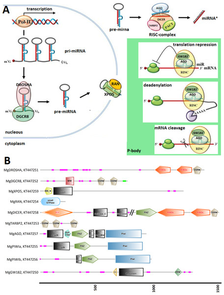 (A) Graphical reconstruction of mussel miRNA biogenesis process.