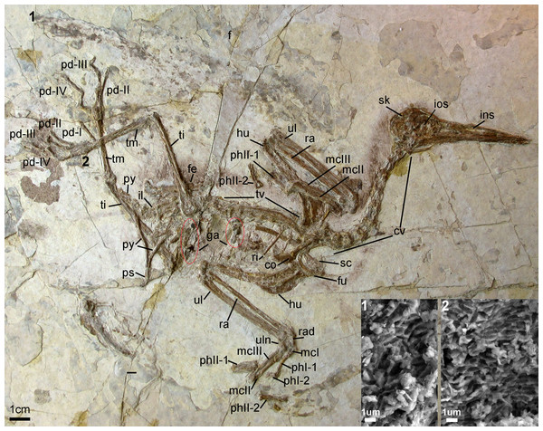 Photograph of the Holotype Changzuiornis ahgm (AGB5840).