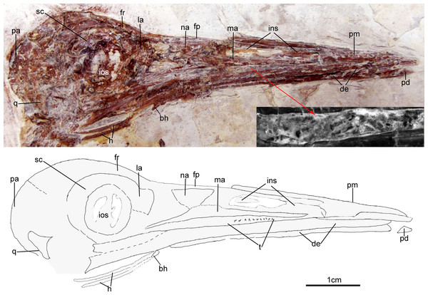 Skull of Changzuiornis ahgm.